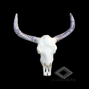 Location de crâne de taureau
