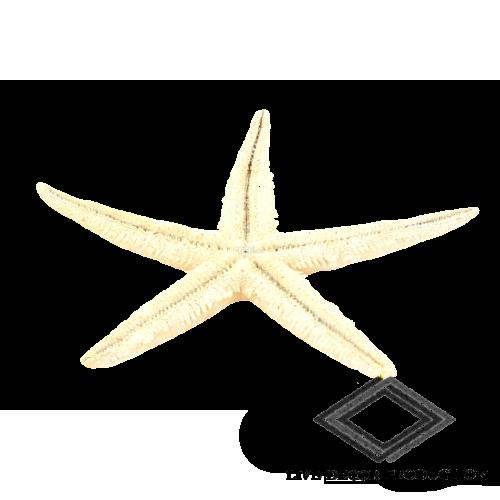 location d'étoile de mer
