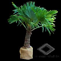 Location de palmier naturel