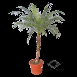 Location de palmier roebelinii